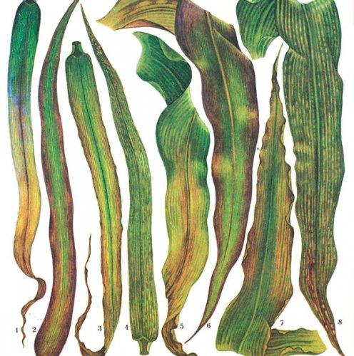 и восковой спелости зерна
