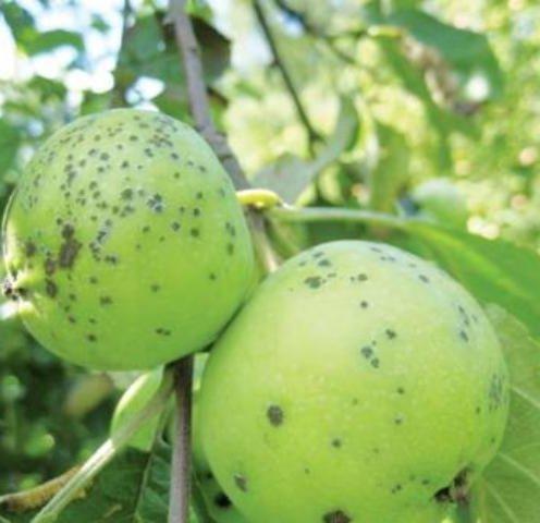 Боремся с паршой яблонь
