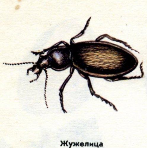 Жужелица - темный жук