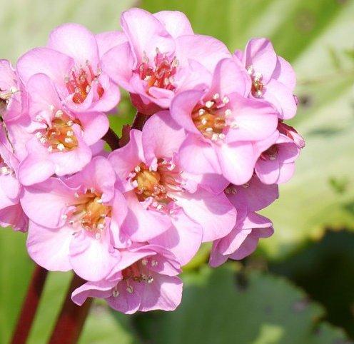 Растение бадан — его лечебные